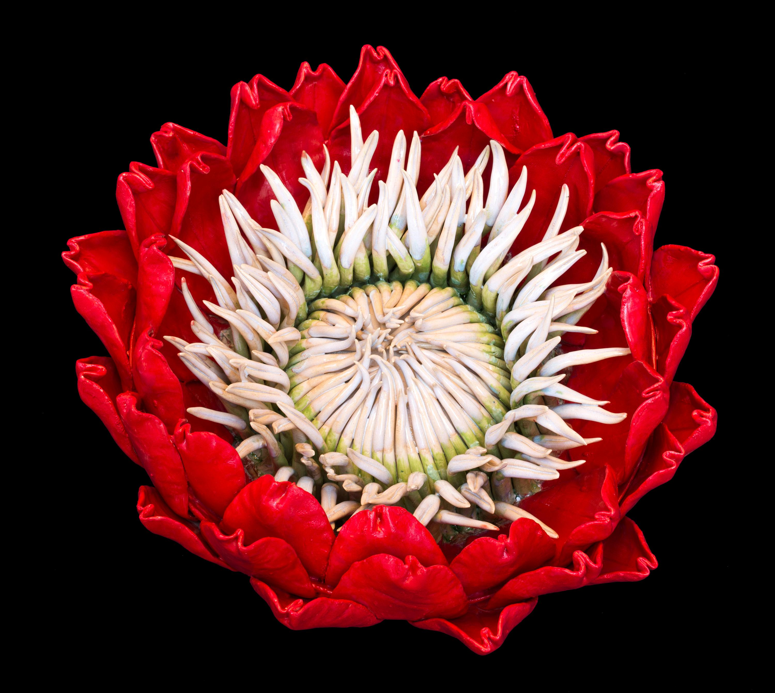 Red Protea - the secret worlds inside these flowers, red, white, green, yellow