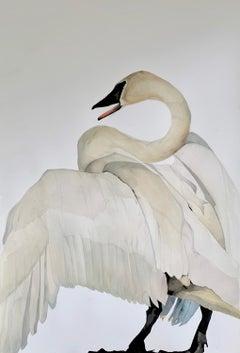 """""""Voice"""" - Swan Portrait - Large Scale Animal Drawing - Audubon - Durer"""
