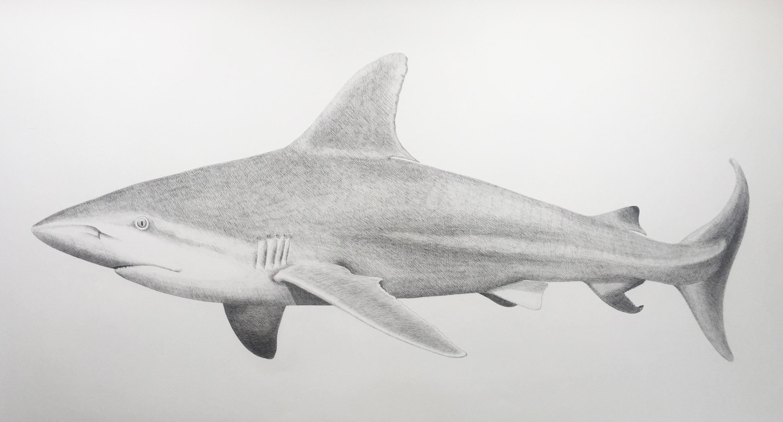 'Sandbar Shark' - large-scale animal drawing - Chuck Close - Rembrandt