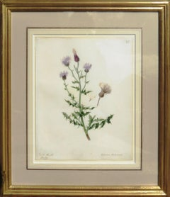 """Field Thistle - Cnicus Arrensis"""