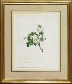 """Hawthorn, Whitethorn - Mespilus Oxycantha"""