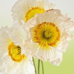 Pure Poppy I, Color Photography, Flowers, Floral, Botanical, Yellow, White
