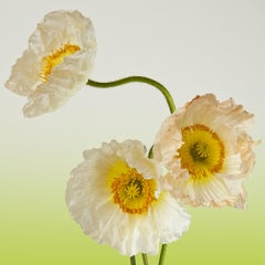 Pure Poppy II, Color Photography, Flowers, Floral, Botanical, Yellow, White