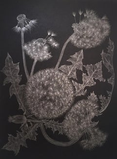 Five Dandelions, Silver Botanical Drawing in Graphite On Black Paper
