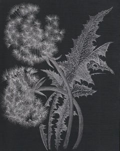 Two Dandelions, Botanical Drawing on Black Panel with Silver Graphite