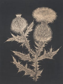 Thistle, Botanical Drawing Made with 14K Gold on Black Paper