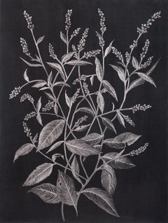 Lady's Thumb Two, Metallic Silver Botanical Drawing with Graphite on Black Paper