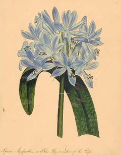 African Agapanthus, or Blue Lily, a native of the Cape