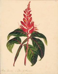 Bitter Quassia, a native of Surinam