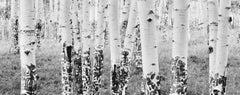 White Birches #1