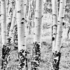 White Birches #2