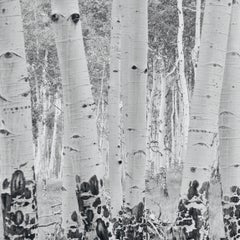 White Birches #3
