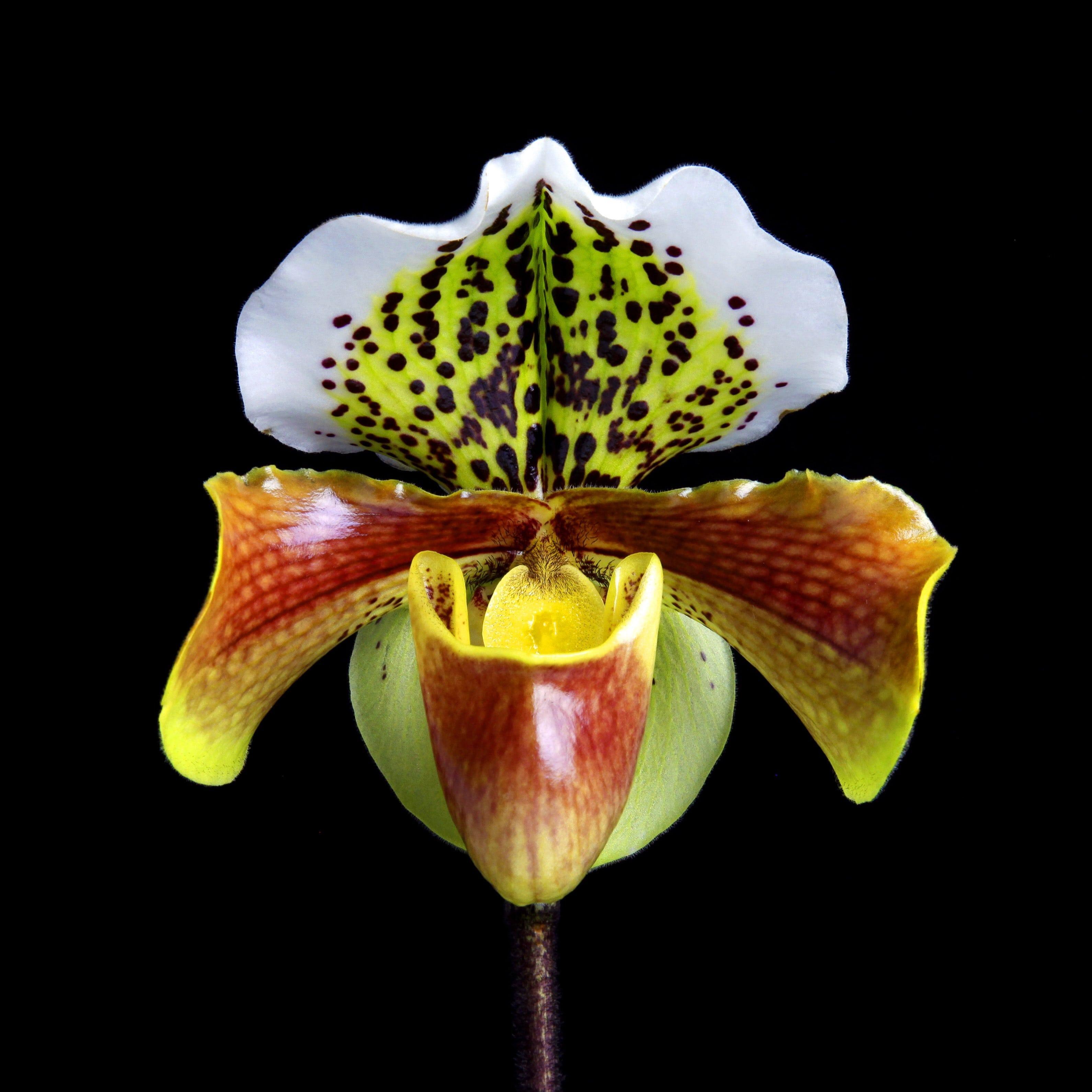 Naturalium 1 - Slipper Orchid