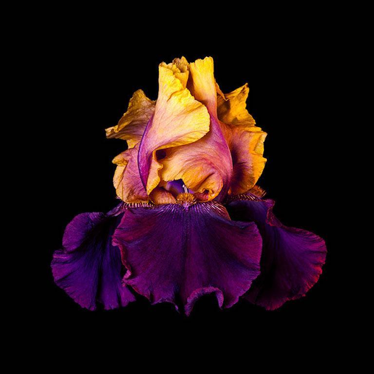Naturalium 5 - Bearded Iris