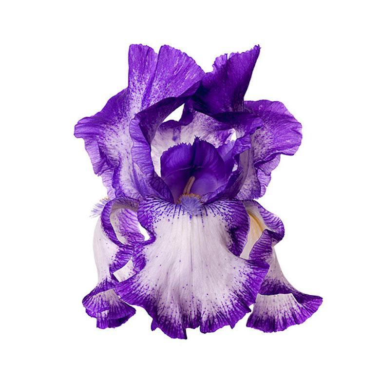 Naturalium 7 - Rococo Iris