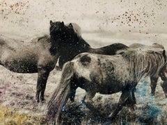 Western Icelandic Horses