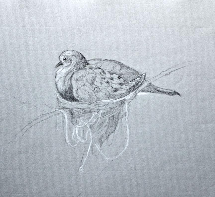 MOURNING DOVE AND NEST WITH WHITE STRING, charcoal drawing, bird, photo-realism
