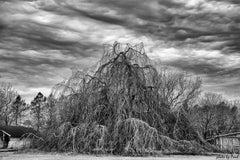 Beach Willow