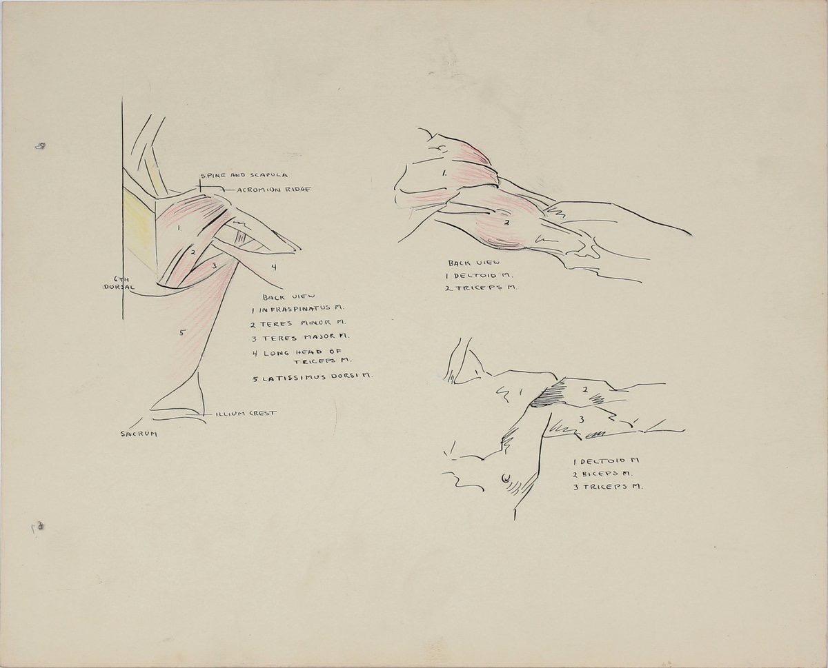 Details of the Human Shoulder 1951 Ink & Graphite