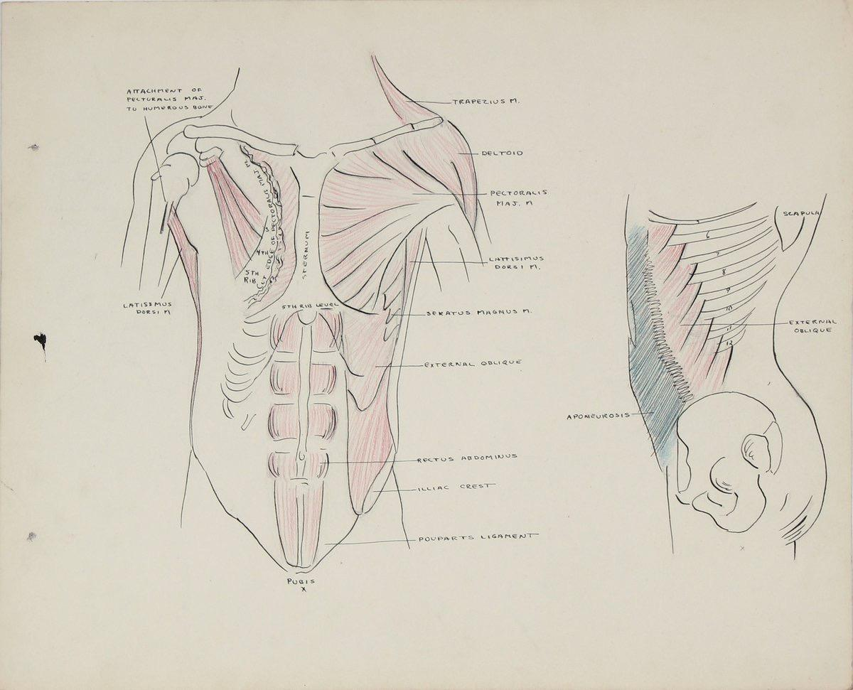 Academic Study - Musculature of the Torso 1950s Ink, Graphite & Colored Pencil