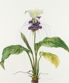 White bat flower - 'Tacca integrifolia'