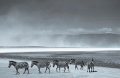 ' Zebras ' Limited Edition, Signed Oversize Archival Pigment print