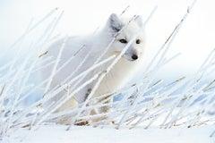 Arctic Ghost