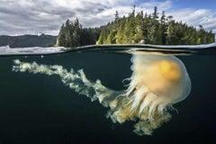 Egg Yolk Jellyfish
