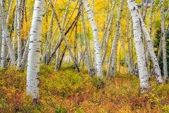 """Aspens"", Color Nature Photography, Landscape, Trees, Autumn, Yellow"