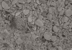 Mary Reilly, Seashells 4, photorealist graphite nature drawing, 2019