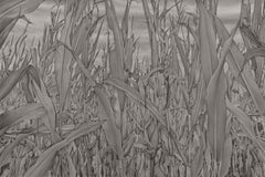 Mary Reilly, Corn Field 1, photorealist graphite landscape drawing, 2019