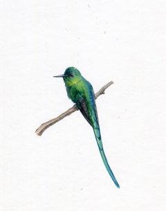 Dina Brodsky, Long Tailed Sylph, realist gouache miniature bird portrait, 2019