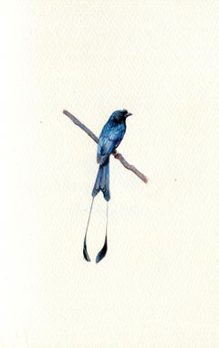 Racket-tailed Drongo, realist gouache on paper miniature bird portrait, 2020