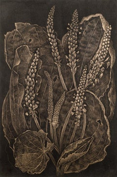 Plantain, realist botanical still life drawing, gold point