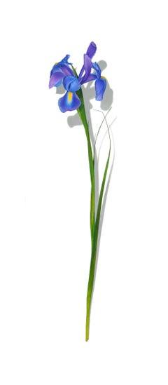Iris Series No. 1, photorealist floral still life drawing