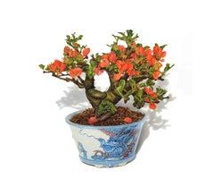 Chojubai Quince Bonsai, photorealist floral still life drawing