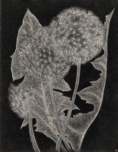 Margot Glass, Three Dandelions, realist graphite floral drawing on paper, 2018