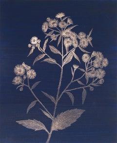 Margot Glass, Daisy Fleabane, realist goldpoint floral still life drawing