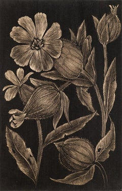 White Campion, realist botanical still life drawing, gold point