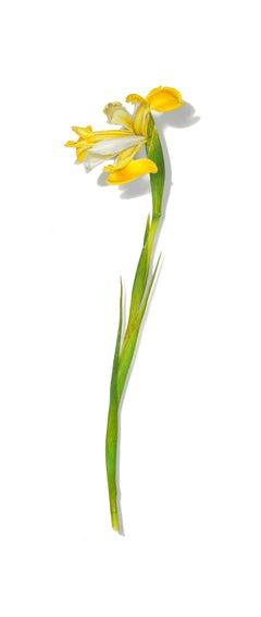 Iris Series No. 8, photorealist floral still life drawing