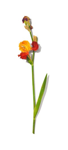 Iris Series No. 9, photorealist floral still life drawing