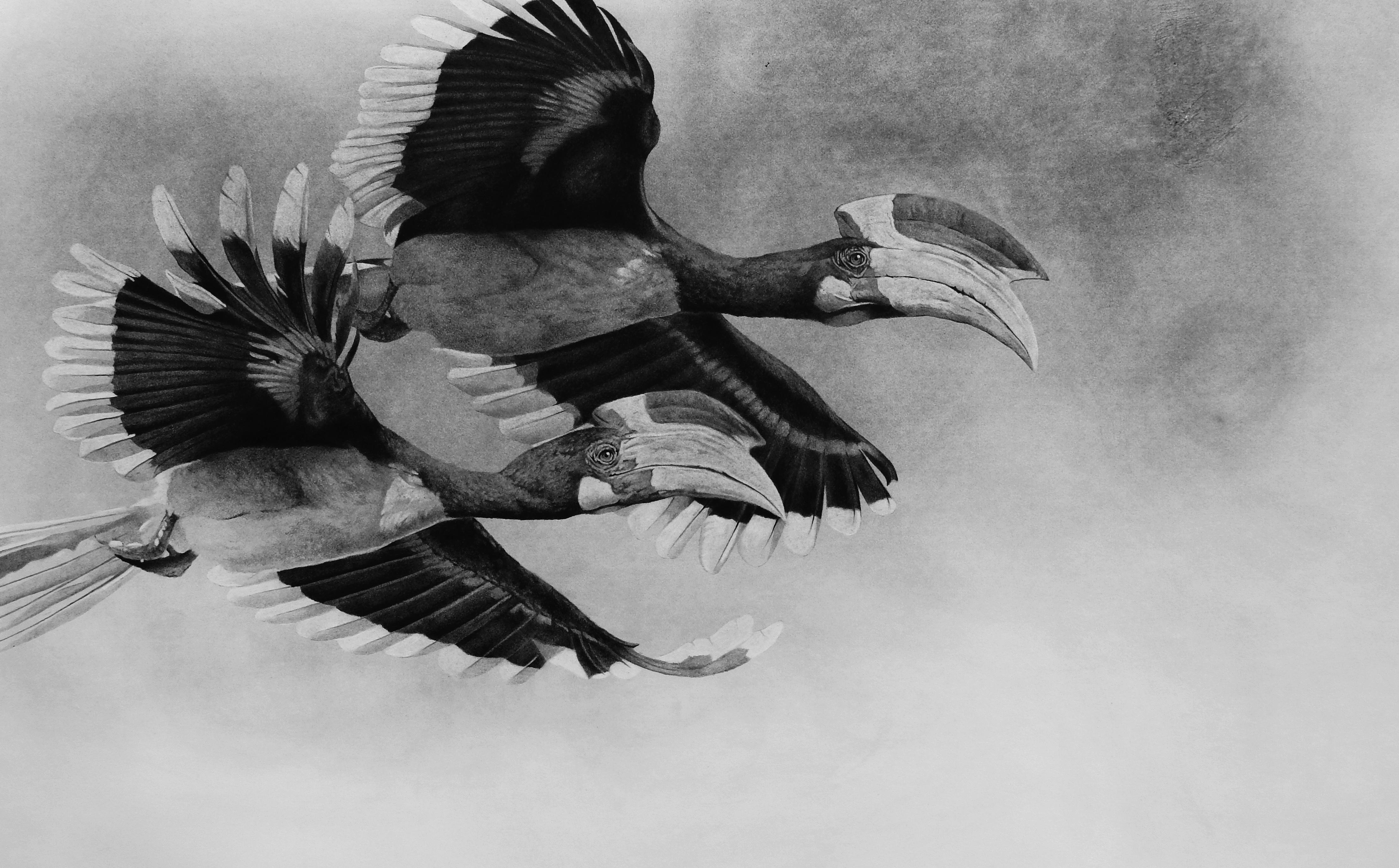 Brasilian bird buceros - black and white pencil drawing by contemporary italian