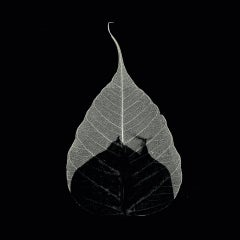 Identity -black and white transferred photograph onto preserved skeleton leaf