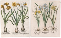 Pair of Narcissus Engravings