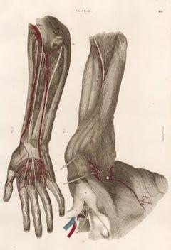Anatomical Engraving of a Human Arm