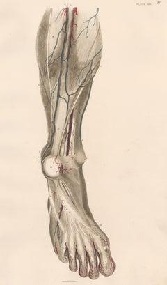 Anatomical Engraving of a Human Lower Leg
