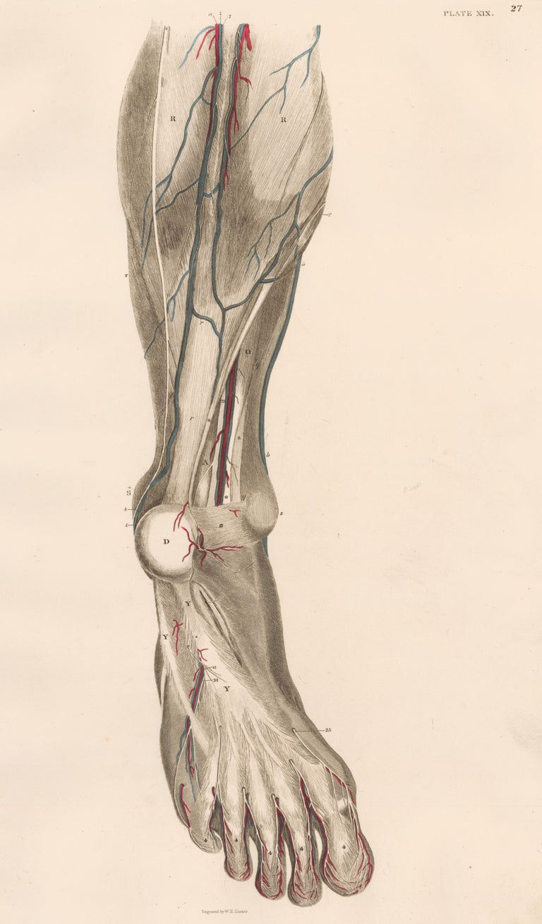 John Lizars Figurative Print - Anatomical Engraving of a Human Lower Leg