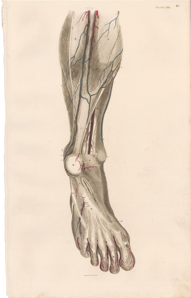 Anatomical Engraving of a Human Lower Leg - Print by John Lizars