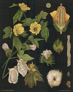 German Hibiscus Botanical Teaching Chart