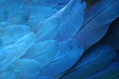 Plumas Azules - Guacamaya, 2018, Extra Small Color Archival Pigment Print